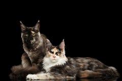 Twee Zwart Maine Coon Cats Lying, die in camera, kijken royalty-vrije stock afbeeldingen