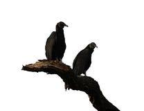 Twee zwarte die gieren op een tak tegen wit wordt geïsoleerd Stock Fotografie