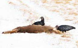 Twee zwarte gieren met voedsel Royalty-vrije Stock Afbeeldingen