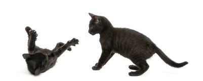 Twee Zwarte katjes die, 2 geïsoleerde maanden oud, spelen Royalty-vrije Stock Foto's
