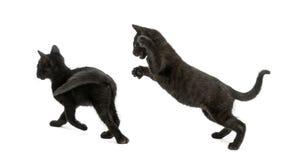 Twee Zwarte katjes die, 2 geïsoleerde maanden oud, spelen Royalty-vrije Stock Foto