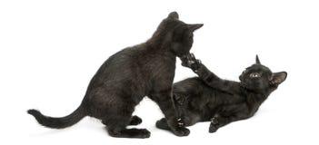 Twee Zwarte katjes die, 2 geïsoleerde maanden oud, spelen Stock Afbeelding
