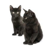 Twee Zwarte katjes die, 2 geïsoleerde maanden oud, zitten Royalty-vrije Stock Afbeeldingen