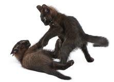 Twee zwarte katjes die samen spelen Royalty-vrije Stock Foto