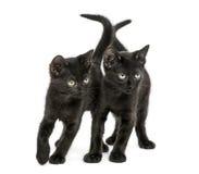 Twee Zwarte katjes status, die 2 maanden oud neer eruit zien Stock Afbeeldingen
