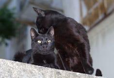 Twee zwarte katten Stock Foto's