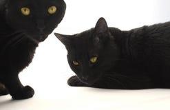 Twee zwarte katten Stock Foto