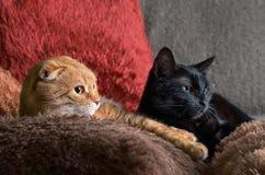 Twee zwarte katten en het rood liggen op kleurrijke pluizige hoofdkussens Stock Afbeelding