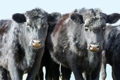Twee Zwarte Koeien Royalty-vrije Stock Foto's