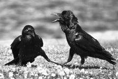 Twee Zwarte Kraaien in geschil stock afbeelding