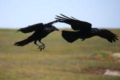 Twee zwarte kraaien tijdens de vlucht. stock fotografie