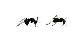 Twee zwarte mieren Stock Afbeeldingen