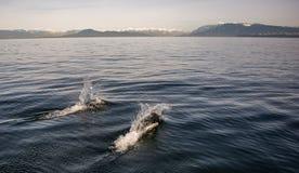 Twee zwarte opgeruimde dolfijnen Royalty-vrije Stock Foto