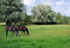 Twee zwarte paarden weiden in de weide royalty-vrije stock afbeelding
