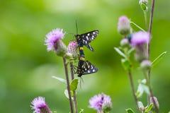 Twee zwarte vlinders worden verbonden op een bloemdistel royalty-vrije stock foto