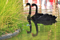 Twee zwarte zwanen Royalty-vrije Stock Fotografie