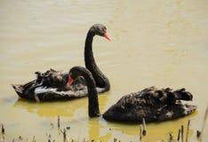 Twee zwarte zwanen die in een vijver zwemmen Stock Afbeeldingen