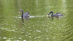 Twee zwarte zwanenvlotter in het meer Mooi het wildconcept Stock Foto