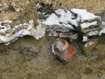 Tweekleppig schelpdier - anodontacygnea in de kreek royalty-vrije stock fotografie