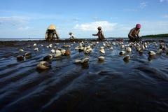 Tweekleppig schelpdier het oogsten in mekong delta Royalty-vrije Stock Fotografie
