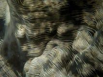 Tweekleppig schelpdier 1, Raja Ampat, Indonesië royalty-vrije stock fotografie