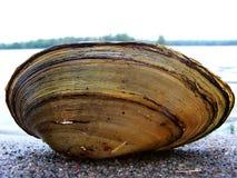 Tweekleppig schelpdier Shell Stock Foto