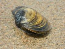Tweekleppig schelpdiershell op het strand stock afbeelding