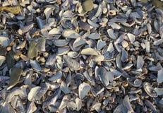 Tweekleppig schelpdiershells op strand stock fotografie