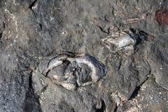 Tweekleppige mulluscs en brachiopod shell fossielen stock fotografie