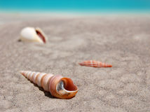 Tweekleppige schelpdieren op Zand Stock Afbeelding