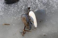 Tweekleppigenshell de toppositie ligt op het ijs van een bevroren meer royalty-vrije stock afbeeldingen