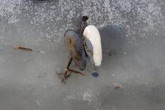Tweekleppigenshell de toppositie ligt op het ijs van een bevroren meer royalty-vrije stock foto's