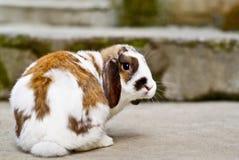 Tweekleurig bruin en wit konijntje royalty-vrije stock afbeeldingen
