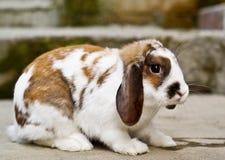 Tweekleurig bruin en wit konijntje stock foto's