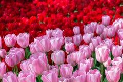 Tweekleurige bloemenachtergrond van rode en roze tulpen stock fotografie