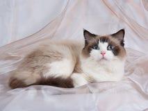 Tweekleurige de kattenverbinding van Ragdoll Stock Foto's