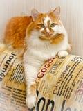Tweekleurige rode en witte bevlekte kat stock afbeelding