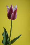 Tweekleurige tulp Stock Foto