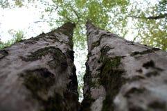 Tweeling Bomen Stock Afbeelding