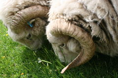Tweeling gehoornde schapen Royalty-vrije Stock Foto