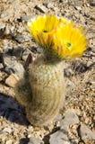 De gele bloemen van de Cactus Royalty-vrije Stock Foto's