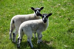 Tweeling Gespikkelde Lammeren op een Grasgebied in Engeland royalty-vrije stock foto's