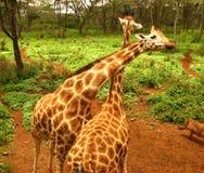 Tweeling Giraf Stock Foto