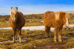 Tweeling Ijslands Paard Stock Fotografie