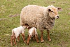 Tweeling lammeren met moederschapen Royalty-vrije Stock Fotografie