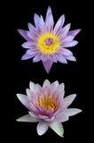 Tweeling lotusbloem Royalty-vrije Stock Afbeeldingen