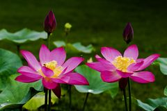 Tweeling lotusbloembloem Stock Fotografie