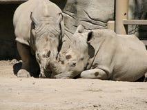 Tweeling Rinocerossen Royalty-vrije Stock Afbeelding