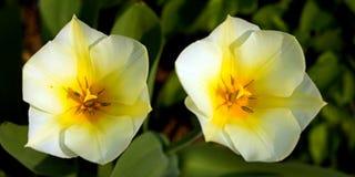 Tweeling tulpen Royalty-vrije Stock Foto's