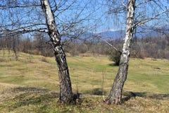 Tweeling witte populierbomen in mooie zonnige de lentedag stock foto
